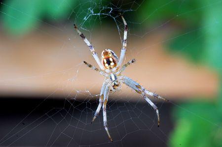 Garden Spider Imagens