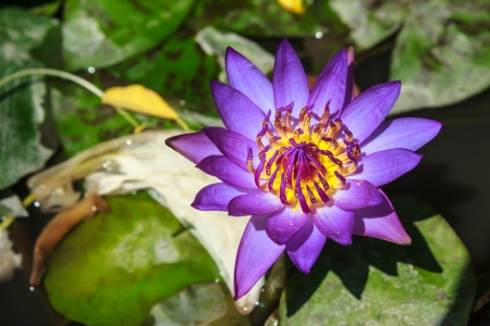 http://www.123rf.com/photo_23929002_purple-lotus-blossoms.html