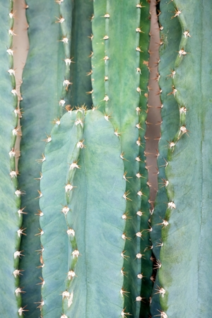 Close up Cactus Tree.