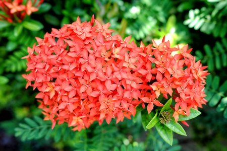 Close-up Red Ixora Flowers in Soft-Focus in The Background.