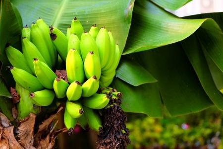 Dwarf Cavendish Banana Tree. Archivio Fotografico