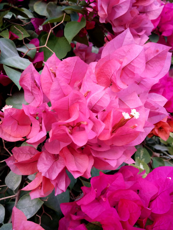 bougainvilleas: Pink Bougainvilleas flower close up Stock Photo