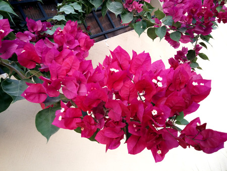 bougainvilleas: Pink Bougainvilleas flowers Stock Photo