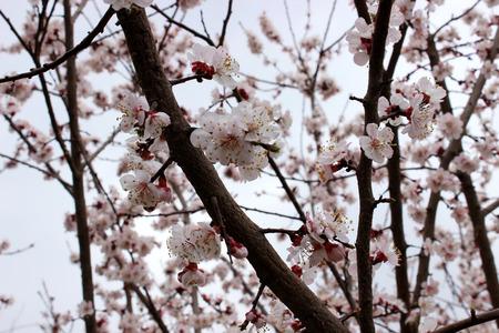 almond tree: Almond tree