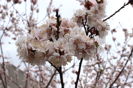 kibbutz: almond flowers