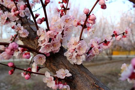 almond tree: almond tree blossoms