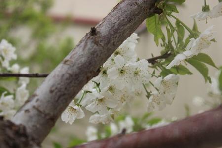 pear tree: Pear Tree Blossoms