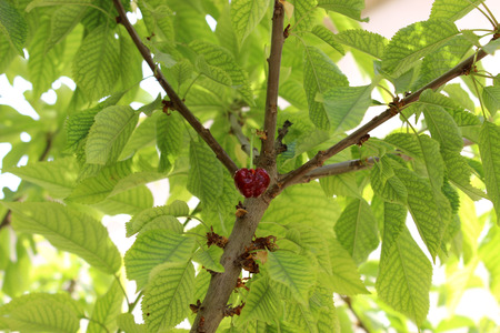 temptations: one cherry in tree Stock Photo