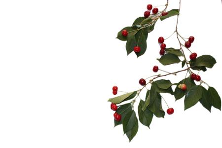 cherry leaves Stock Photo