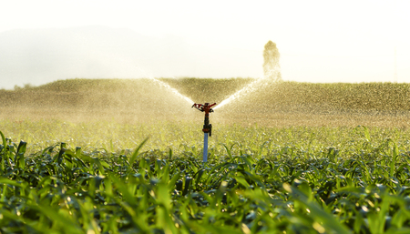 irrigated corn, maize in the field water spout 写真素材