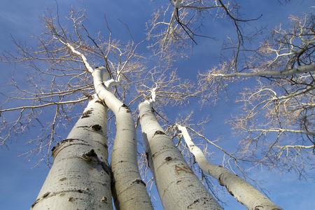 leafless aspen trees