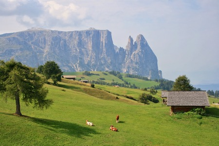 Cows in front of Schlern at Alpe di Siusi in South Tyrol, Italy