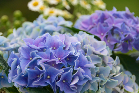 Hydrangea with asteraceae
