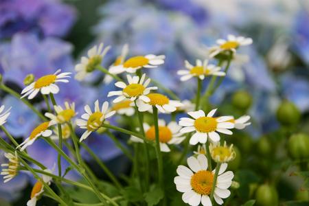 Asteraceae with hydrangea Stock Photo