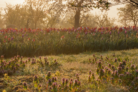 Beautiful sunrise on a field with tulips and red dead nettle