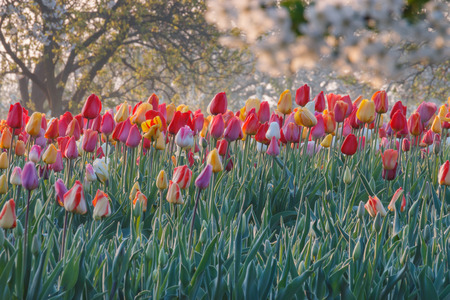 Colorful tulips on a field with blooming apple trees in the background early in the morning