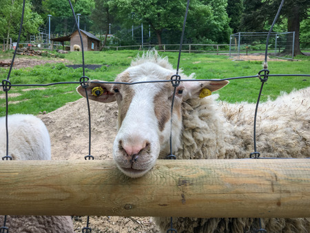 A sheep in a zoo putting it's mouth through a mesh of a fence