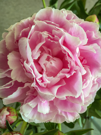 Close-up of a rose colored peony