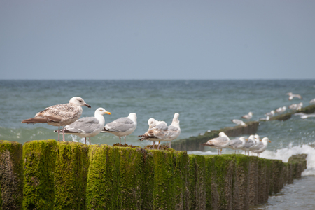 Scene from dutch North Sea beach at Domburg with seagulls sitting on wooden wavebreaker poles