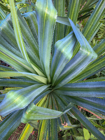 Lush green tropical vegetation with dark and bright leaves along Kalalau Hiking Trail on the Hawaiian island of Kauai, USA