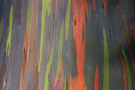 """So called """"rainbow tree"""" or sometimes called """"painted forest"""" on the Hawaiian island of Maui at Mile 7 along the Road to Hana Imagens - 125515763"""