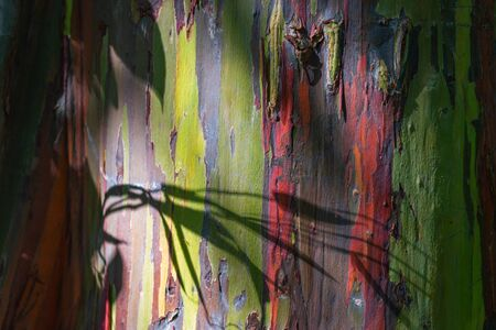 """So called """"rainbow tree� or sometimes called """"painted forest� on the Hawaiian island of Maui at Mile 7 along the Road to Hana Archivio Fotografico - 125515764"""