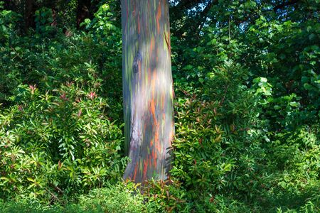 "So called ""rainbow tree� or sometimes called ""painted forest� on the Hawaiian island of Maui at Mile 7 along the Road to Hana Archivio Fotografico - 125515766"