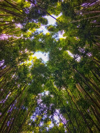 Bamboo Forest along Pipiwai Trail at Haleakala National Park on the Hawaiian island of Maui, USA Imagens - 125515909