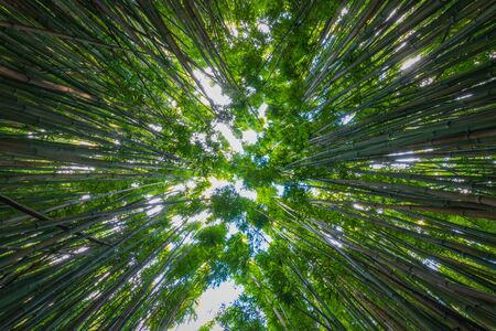 Bamboo Forest along Pipiwai Trail at Haleakala National Park on the Hawaiian island of Maui, USA 免版税图像