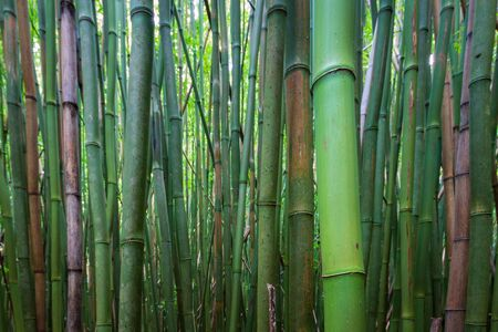 Bamboo Forest along Pipiwai Trail at Haleakala National Park on the Hawaiian island of Maui, USA Imagens - 125515913