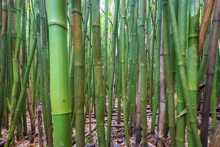 Bamboo Forest along Pipiwai Trail at Haleakala National Park on the Hawaiian island of Maui, USA Imagens