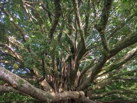 Huge banyan tree at Haleakala National Park on the Hawaiian island of Maui, USA Imagens - 125515936