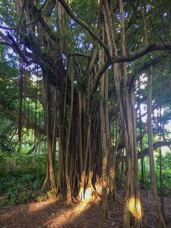 Huge banyan tree at Haleakala National Park on the Hawaiian island of Maui, USA Imagens - 125515937