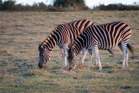 Grazing cape mountain zebras eating in South Africa at sunset