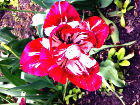 Tulipe flower 2 Stock Photo