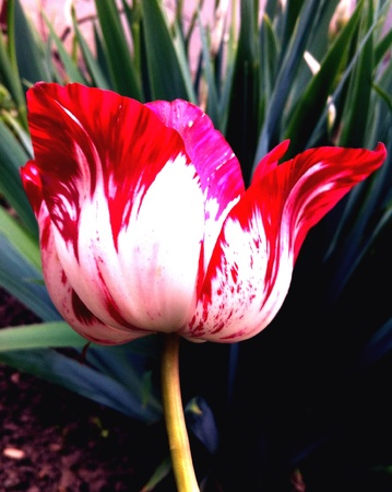 Tulip white and red