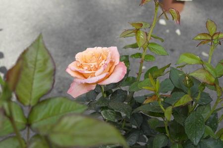 giardino: Rosa