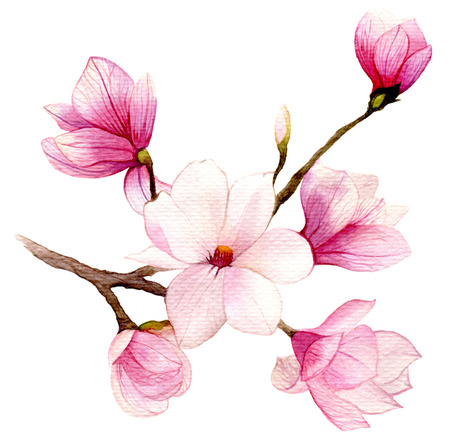 magnolia tree: Spring background with watercolor magnolia flower. Hand drawn illustration.