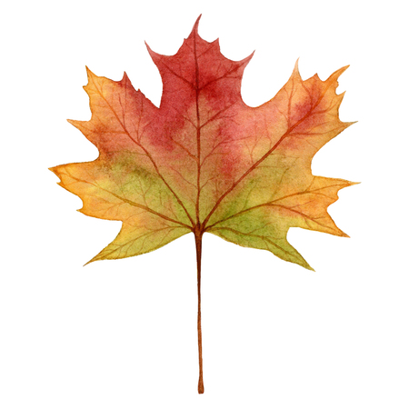 painterly effect: Maple leaf in autumn colors,watercolor hand draw illustration