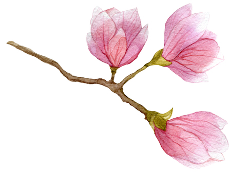 watercolor blooming branch of magnolia tree with three flowers. hand drawn botanical illustration
