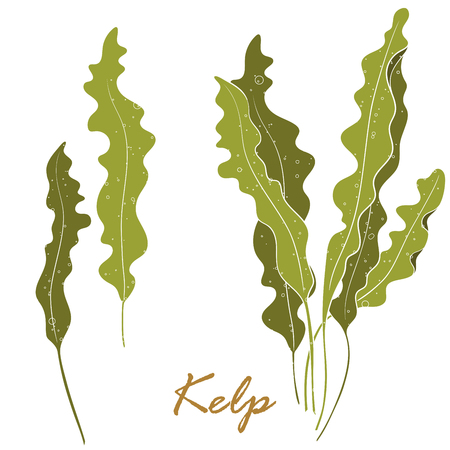 Seaweed Kelp or Laminaria. Green food algae isolated on white background. Vector hand drawn illustration.