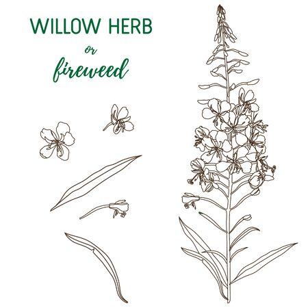 Willow Herb vector set. Chamerion angustifolium, fireweed, rosebay hand drawn botanical illustration. Health and nature set of medical plant for design package tea.