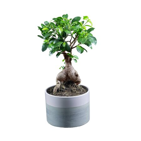 Houseplant ficus microcarpa ginseng in a clay pot isolated on white background.
