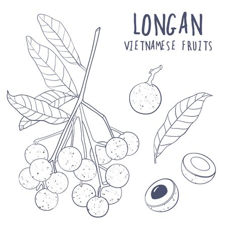 Longan vector set. Hand drawn tropical vietnamese fruit illustration. Branch, whole and sliced objects with leaves. Botanical illustration for menu, market, label, juice packaging design.