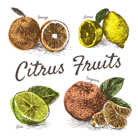 Vector illustration colorful set with citrus fruits. Different sort of citrus fruits on white background