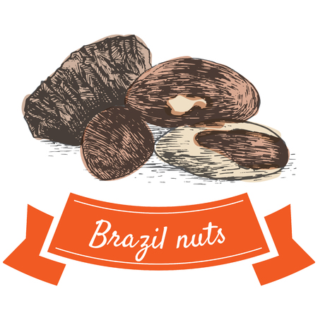 brazil nut: Vector colorful illustration of brazil nuts. Illustrative sorts of nuts
