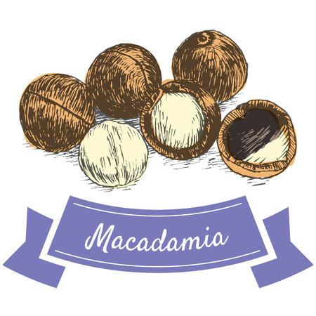 illustrative: Vector colorful illustration of macadamia nuts. Illustrative sorts of nuts