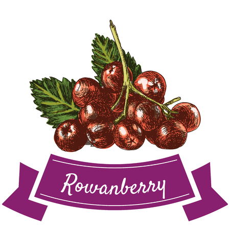 rowanberry: Vector illustration colorful set with rowanberry. Illustration various of vegetables on white background