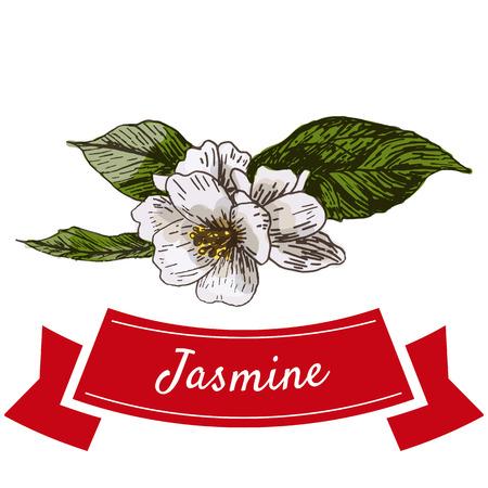 Jasmine flower colorful illustration. Vector illustration of jasmine flower.