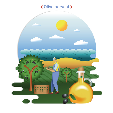 Flat farm landscape illustration of Olive harvest. Rural landscape with olive hills and seaside. The farmer harvesting olives for production olive oil.
